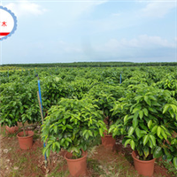 海南基地低价批发盆栽平安树----三亚兴达苗木基地