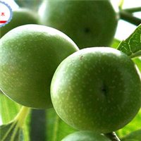 优质高产台湾大青枣苗---兴达热带苗木基地大量低价供应