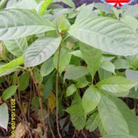 兴达苗木专卖—优质胆木苗