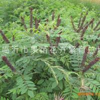 产地大量供应紫穗槐苗紫穗槐种子等多种果树苗木出售
