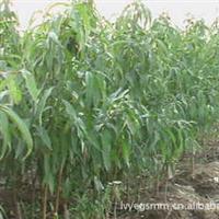 批发供应绚丽海棠北美海棠海棠苗品种多纯种海棠基地