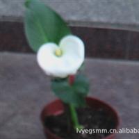 批发盆景百合花白色系观赏花