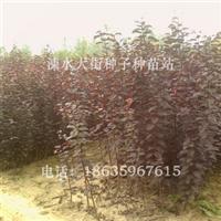 生产销售紫叶李苗圃工程绿化苗