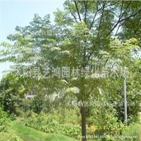 供应:优质苦楝苦楝树别名:紫花树森树楝树苦楝价格优惠