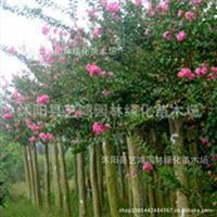 供应:优质紫薇紫薇树2--10cm紫薇价格优惠附紫薇栽培技术
