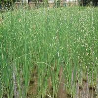 供应水生植物-水葱,又名苻蓠、莞蒲、夫蓠、葱蒲细叶水葱苗