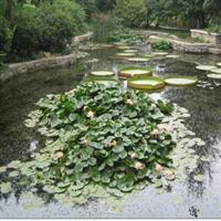 供应水生植物水生花卉睡莲多种颜色睡莲跟块多个品种睡莲