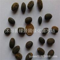 出售罗汉松种子罗汉杉长青罗汉杉种子珍珠罗汉松种子货到付款