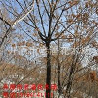 哪里能买到优质的蒙古栎树请来开原市老潘花木场