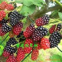 供应批发果树苗树莓苗每天吃点一点健康多一点