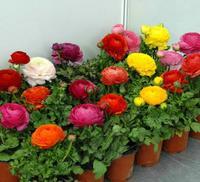 花毛茛种根波斯毛茛洋牡丹多种颜色盆栽花卉混合色