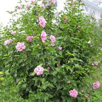 批发供应绿化苗木爬藤植物木香蔷薇七里香