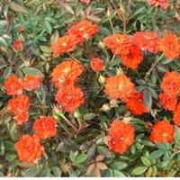 常年供应微型月季红宝石花多叶绿