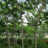 合欢山东省招远市博源苗木种植专业合作社