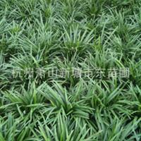 优质麦冬/日本矮麦冬/玉龙草四季常绿地被植物大量供应