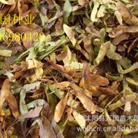 【香椿种】香椿种子价格香椿种苗香椿量大24元一斤