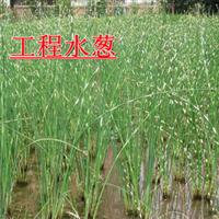 【批发中】花叶水葱细叶水葱优质水葱白洋淀水葱苗0.3元一芽