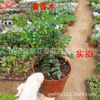 批发含羞草苗一碰即合风趣可爱小盆栽花草观叶植物