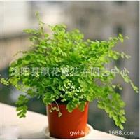 批发供应铁线蕨盆栽铁线蕨花苗室内盆栽花卉四季常青很漂亮