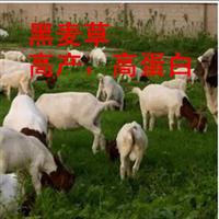 批发供应高产耐寒抗旱牧草种子黑麦草种子草种紫花苜蓿