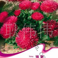 批发供应优质雏菊种子当年新采保质保量货到付款