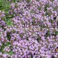 批发供应百里香种子彩色袋装花卉种子芳香植物
