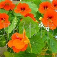 批发供应优质旱金莲种子金莲花当年新采名贵花种药材种子