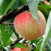 批发供应优质桃树种子果树种子当年新采货到付款