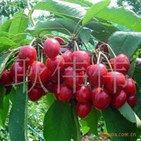批发供应进口优质樱桃种子樱桃树苗正宗嫁接樱桃小苗当年结果
