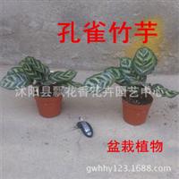 批发盆栽孔雀竹芋猫眼竹芋观叶植物净化空气吸甲醛