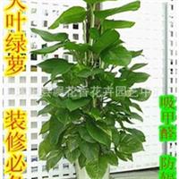 批发供应室内绿植盆栽大叶绿萝净化空气吸甲醛/办公室花卉植物
