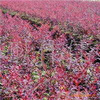批发供应优质红叶小檗种子当年新采保质保量量大优惠货到付款