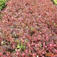 供应各种规格的彩叶扶桑苗木