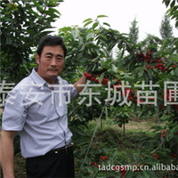 生产经营山东吉塞拉樱桃苗、来自欧洲的矮化樱桃苗、第二年结果