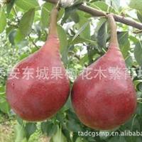 出售玉露香梨、雪青梨、新梨7号、早红考密斯梨品种苗木