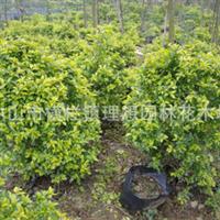 供应绿化袋子苗