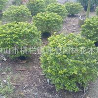供应大红花球黄金榕球黄金叶球勒杜鹃花叶良姜花木种植养护工程