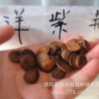 供应优质洋紫荆种子,批发,量大优惠!