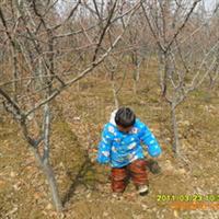 缘分园园林绿化苗木场大量供应2-5公分红梅