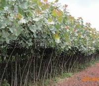 缘分园园林绿化苗木场大量供应2-15公分樱桃树