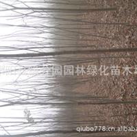l厂家直销供应各种栾树灯笼树、摇钱树、金雨树