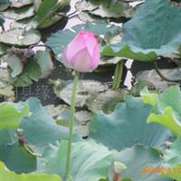 现货供应多年生水生花卉睡莲子
