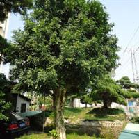 供应灌木九里香等多种灌木