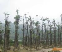《长期供应》多种规格乔木盆架子