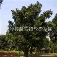 专供湖南绿化苗木工程用苗红叶石楠