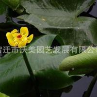 供应萍逢草,萍逢草苗,别名黄金莲,萍逢莲,水生植物
