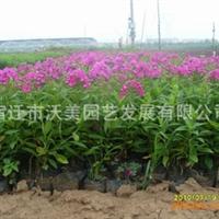 供应出口景观花卉种子,福禄考种子,别名福禄花、福乐花、五色梅