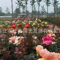 供应月季种子,月季花种子,花种子,花卉种子,花木种子,月季花
