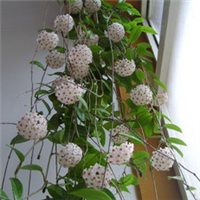 绿叶球兰-特容易种-观叶赏花-开花美还特香