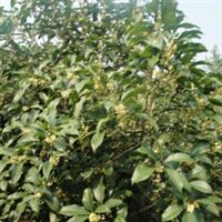 紫穗槐种子小苗大量供应量大从优